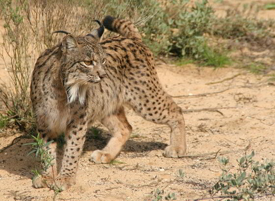 Iberische lynx