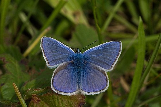 Icarusblauwtje - vlinderstand