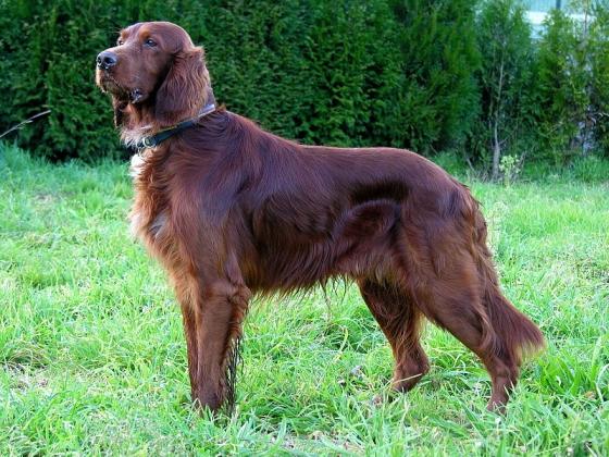 Ierse setter hond