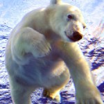 IJsbeer - ijsberen