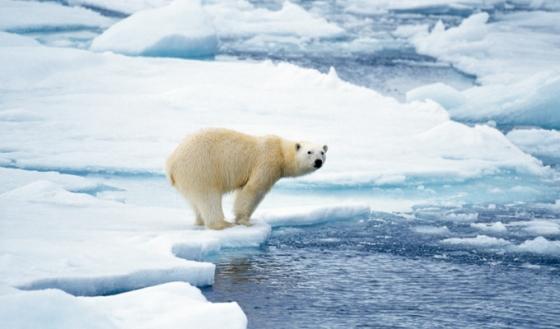 IJsbeer - opwarming van de aarde