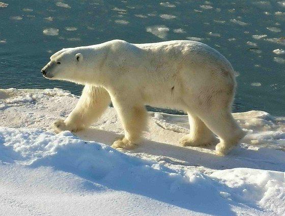 IJsbeer - dikste ijsbeer