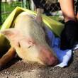 Sluiting van drie illegale slachthuizen redt honderden dierenlevens