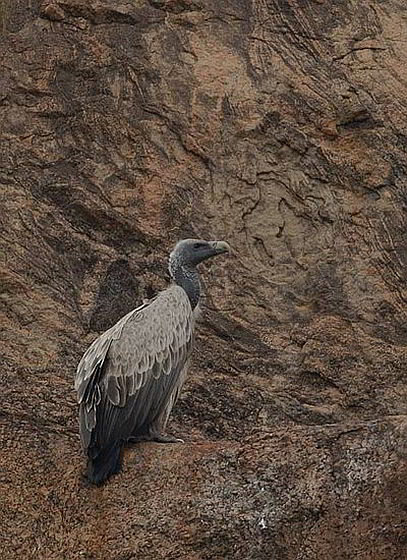 Indische gier - gieren bijna uitgestorven