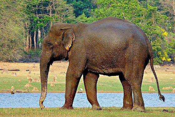 Indische olifant - india