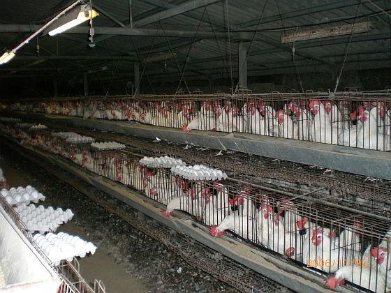 Industriële legbatterij Amerika - vogelgriep Iowa