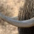 Born Free vraagt BBC-programma geen antiek ivoor meer te tonen