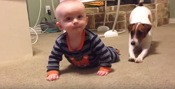 Jack Russell leert baby kruipen