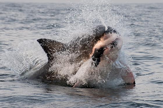 Witte haai met prooi
