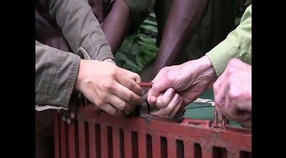 Chimpansee vrijlating