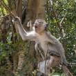 #GNvdD: Kamer wil Java-apen terug naar AAP