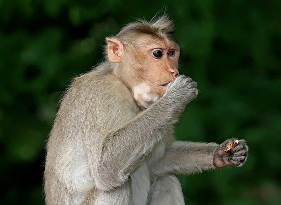 Java-aap - makaak