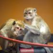 #GNvdD: Java apen terug bij Stichting AAP
