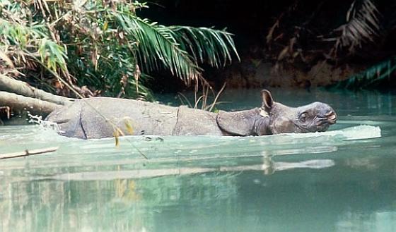 Javaanse neushoorn