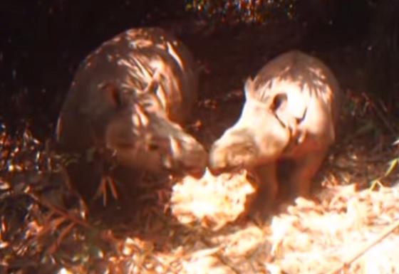 jonge Javaanse neushoorns