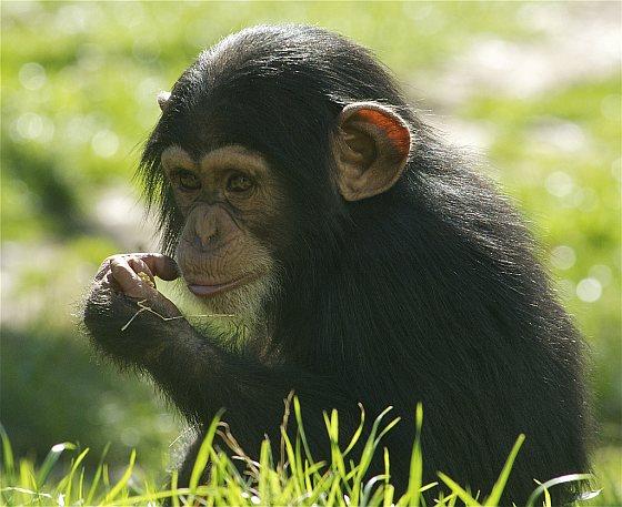 jonge chimpansee aap