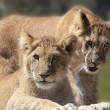 Jonge leeuwtjes voor het eerst naar buiten
