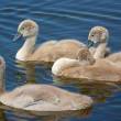 10 jonge zwanen weggehaald bij zwanendrifter