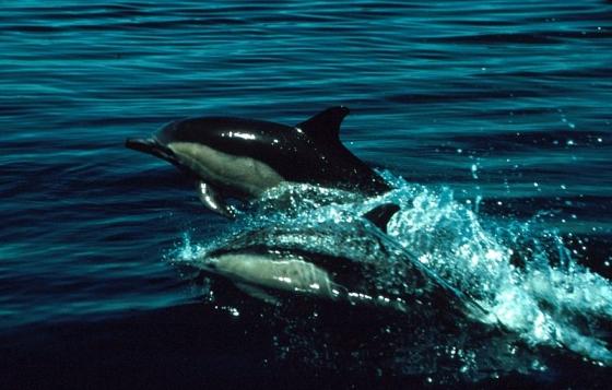kaapse dolfijn