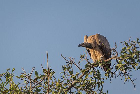 Kaapse gier - gieren bijna uitgestorven