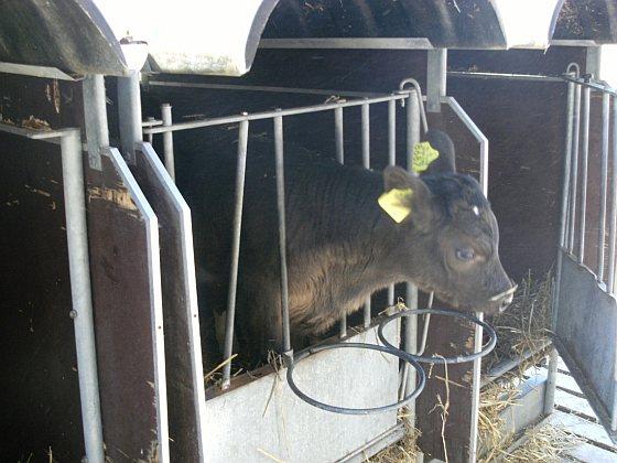 Kalf - gangbare melkveehouderij