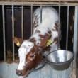 kalf bij koe