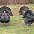45 miljoen kalkoenen gedood voor Thanksgiving