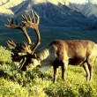 Obama wil flora en fauna Alaska beschermen