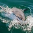 Opinie: Grote witte haai in West-Australië vogelvrij verklaard