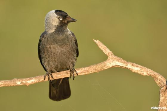 stuntelende vogels