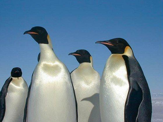 Keizerspinguïns - Zuidpoolgebied