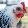 De keuze voor de kip of het ei