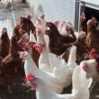 60.000 kippen dood na brand, Telegraaf weigert advertentie