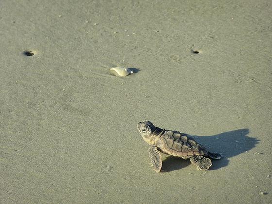 Kleine onechte karetschildpad