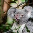 #GNvdD: Asielhonden beschermen koala's tegen gevaar