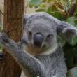 Koala's hebben vingerafdrukken