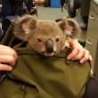 Australische vrouw gearresteerd met koalabeer in rugzak