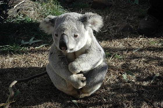 700 koala's