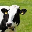 Recordaantal runderen geslacht afgelopen week