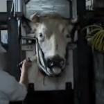 Koe in halal slachthuis - slachten