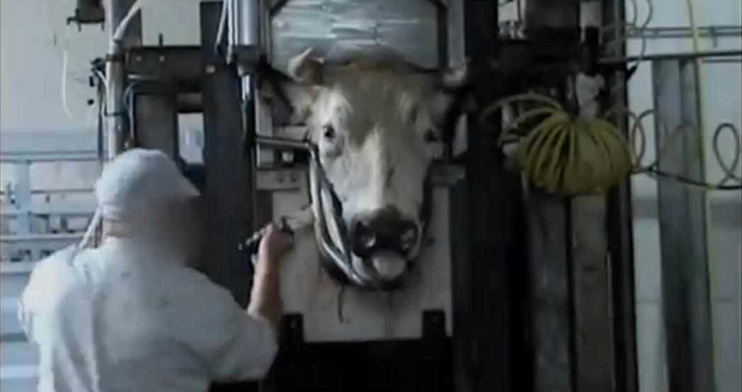 Koe in halal slachthuis