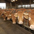 #GNvdD: Vegetarische boer geeft kudde aan opvangcentrum