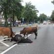 Koeien - Hongkong