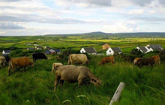 Koeien - Ierland
