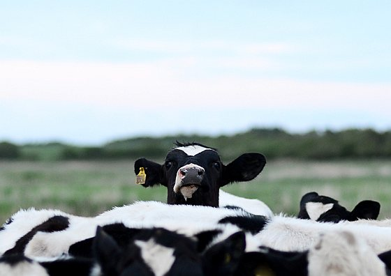 Koeien - dierenwelzijn