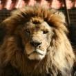#GNvdD: Zes leeuwen op weg naar de vrijheid