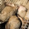 Video: Ongehoord presenteert schokkende undercoverbeelden konijnenhouderijen