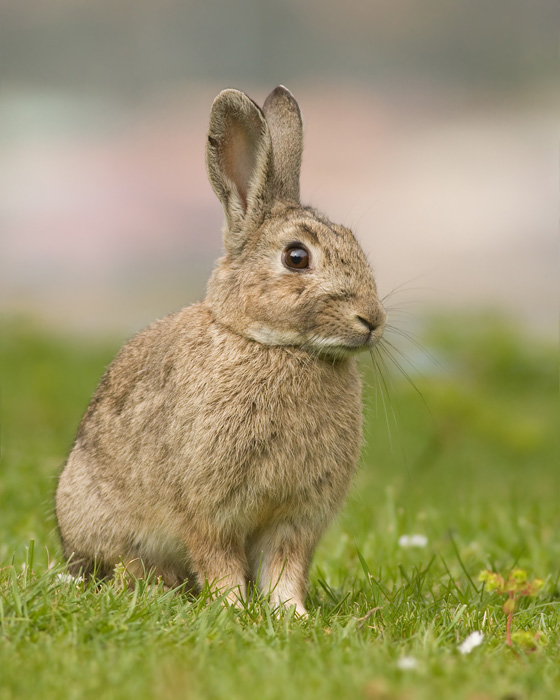konijnenjacht