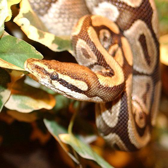 Koningspython - pythonhuiden
