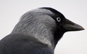 Kauw - vogelophanging